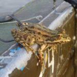 Как насаживать лягушку на сома