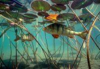 Окунь под водой