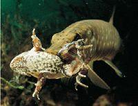 Щука поймала лягушку