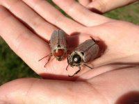 Майские жуки