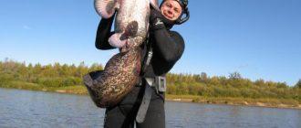 Охота на сома подводная