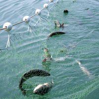 Рыба в сети