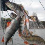Штраф за ловлю рыбы сетями
