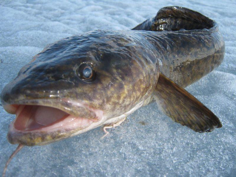 фото рыба налим
