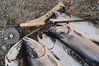 Семга, рыба, удочка